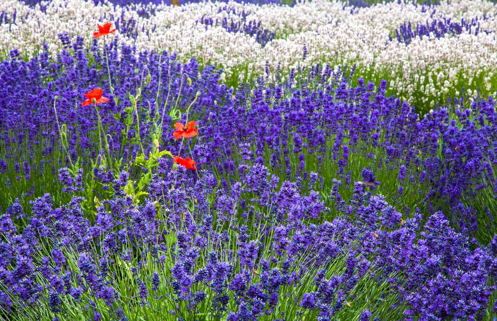 lavender with poppies